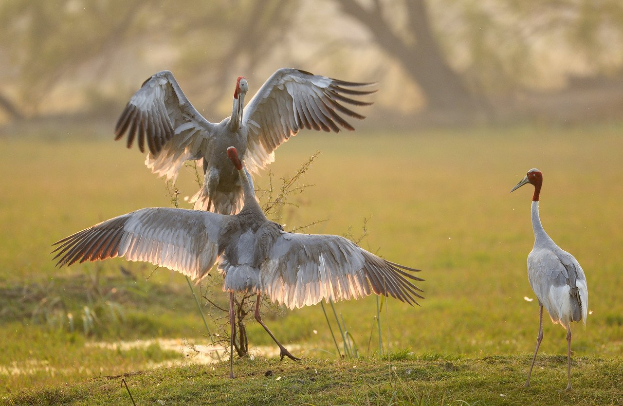 Sarus-Cranes-fight-Bharatpur-5