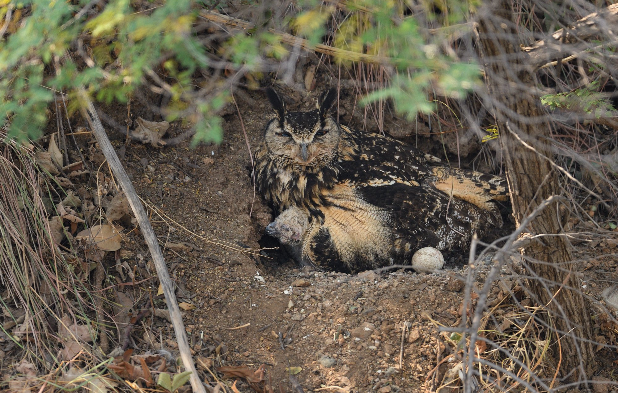 Indian Eagle Owl with chicks